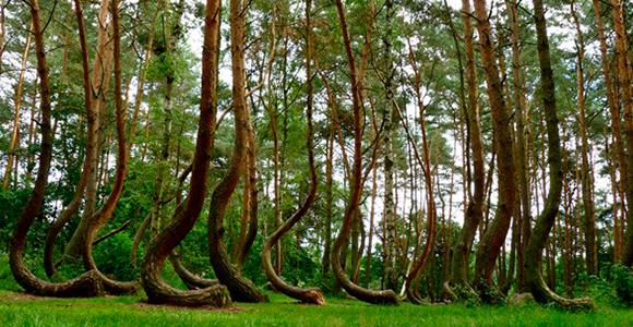 """El misterioso bosque de árboles torcidos en Polonia"" Bosque polonia2"